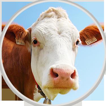 Damızlık Sığır Yetiştiriciliği